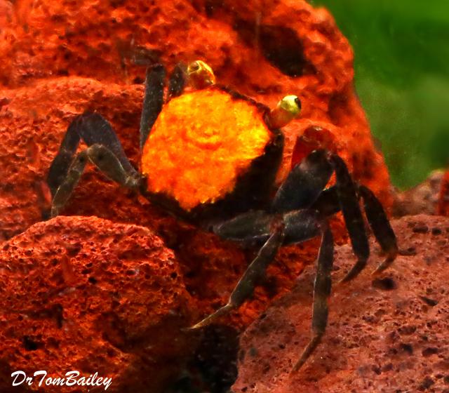 Premium Freshwater Red Devil Crab
