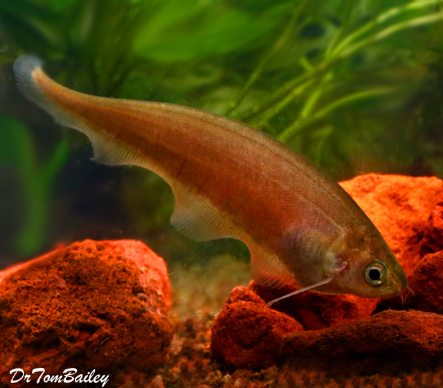 Premium WILD, African Black Knifefish