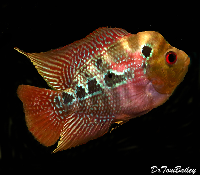 Premium Rare and New, Neo-Dragon Flowerhorn Cichlid
