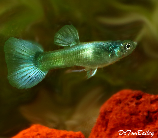 Premium MALE Moscow Green Fancy Guppy