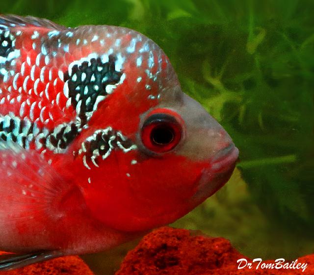 Premium Rare Super Red Dragon Flowerhorn Cichlid