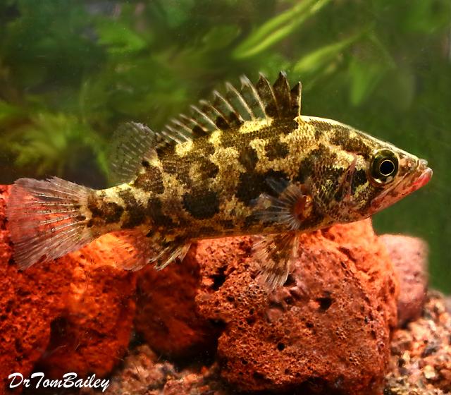 Premium Rare WILD Nandus Leaf Fish