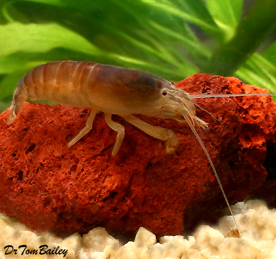 Premium Rare Vampire Shrimp