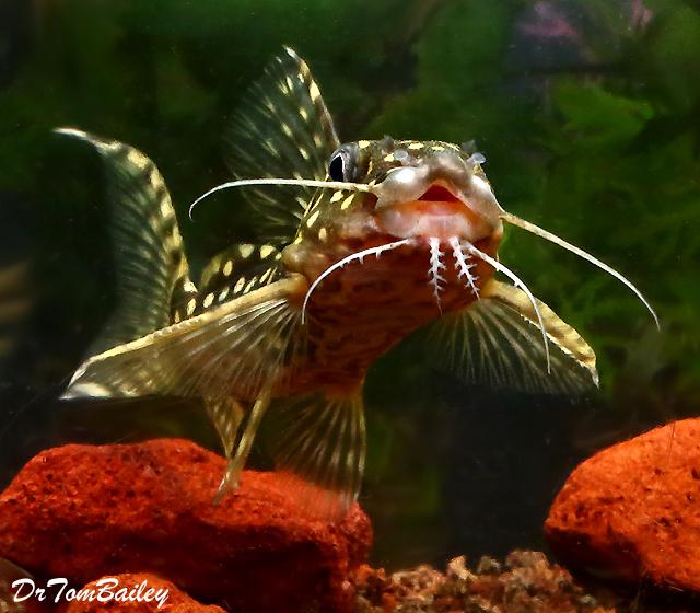 Premium Rare WILD, Polka Dot Squeaker Catfish, Synodontis Angelicus