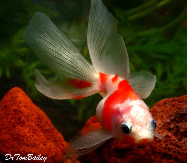 Premium New Rare Sakura Ryukin Goldfish