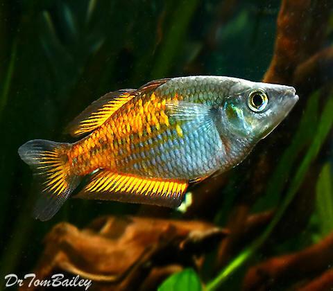 Premium Orange Parkinson's Rainbowfish