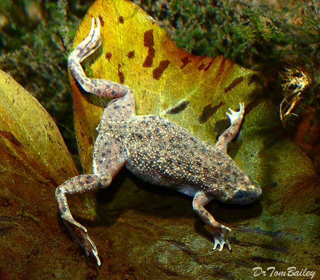 Premium African Dwarf Frog