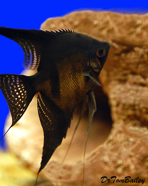 Premium Rare Black Angelfish