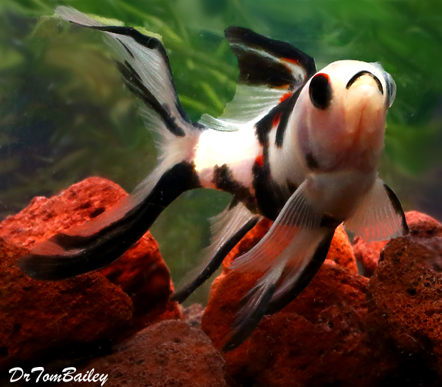 Premium New and Very Rare, Panda Shubunkin Pond Comet Goldfish