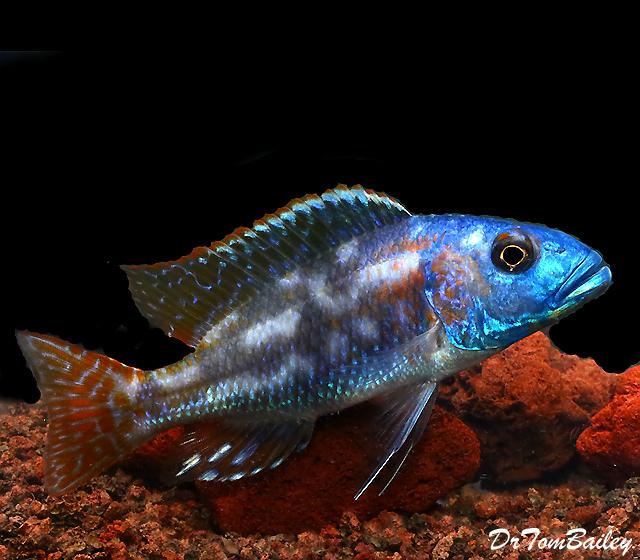 Premium Lake Malawi Fusco Hap Cichlid