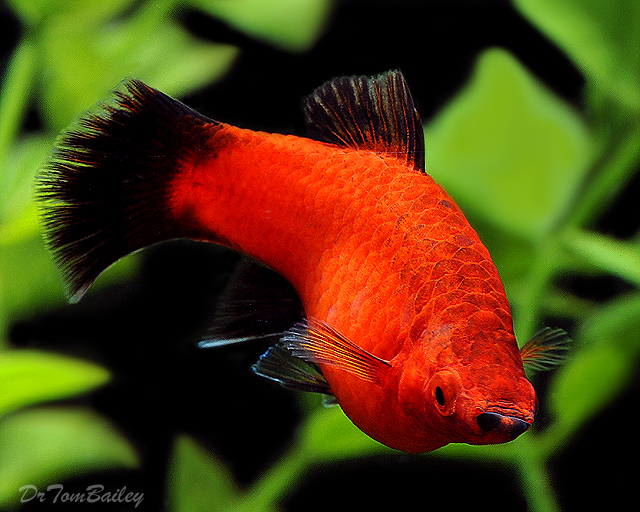 Premium Red Wag Platy