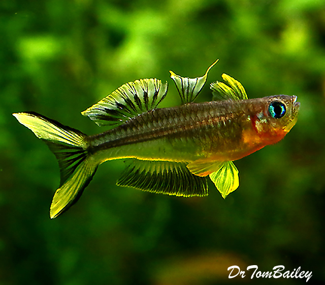 Premium Furcatus BlueEyes, Nano Fish
