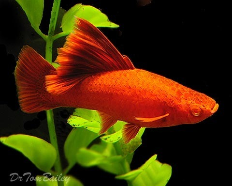 Premium FEMALE, Rare Hifin Red-Eye Red Swordtail