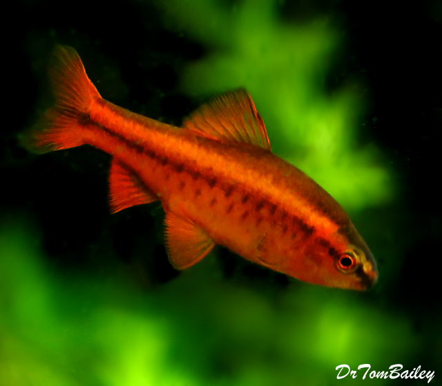 Premium MALE Cherry Barb, Nano Fish