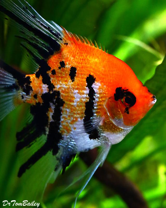 Premium WYSIWYG Pearlscale Koi Angelfish