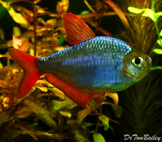 Premium Blue Flame Tetra, also called a Columbian Tetra