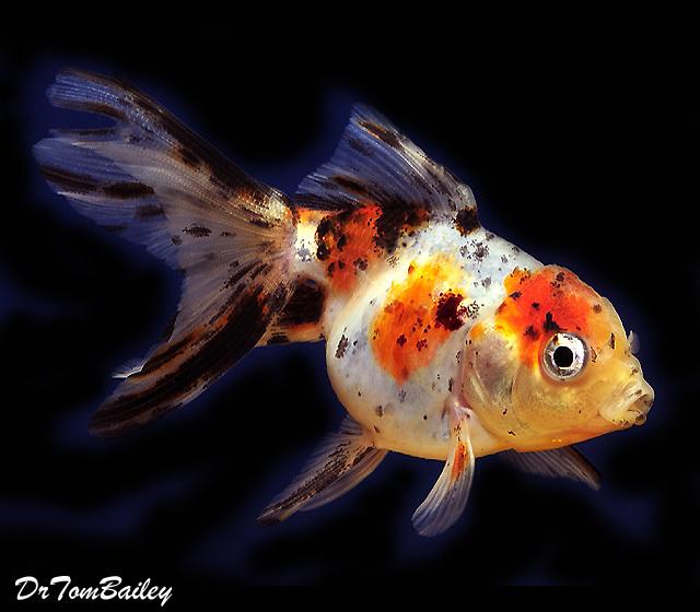 Premium Calico Oranda Goldfish