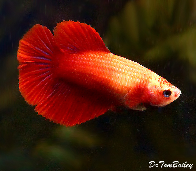 Premium FEMALE Red Halfmoon Betta Fish