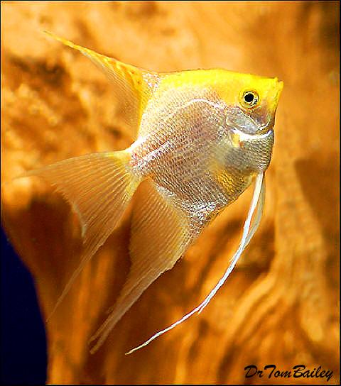 Premium Gold Pearlscale Angelfish