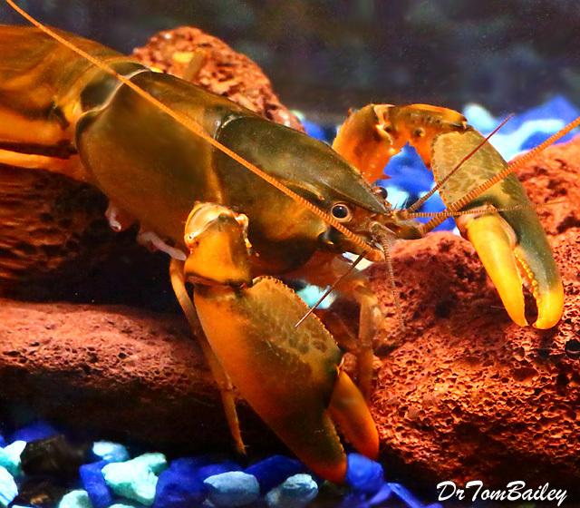 Premium New and Rare, Orange-Hand Lobster
