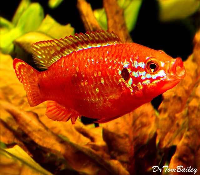 Premium Red Diamond Jewel Cichlid