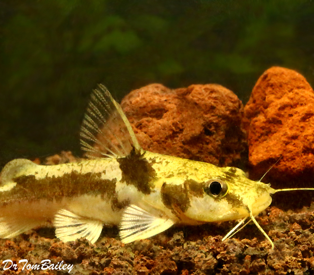 Premium Rare Ornate African Bagrid Catfish, Chrysichthys ornatus