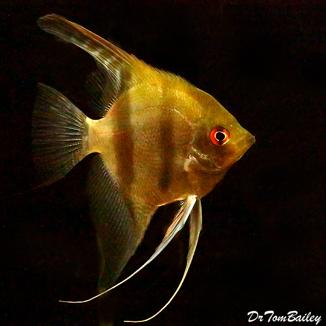 Premium New and Rare, WILD, Peruvian Altum Angelfish