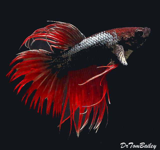 Premium MALE Unique Crowntail Betta Fish