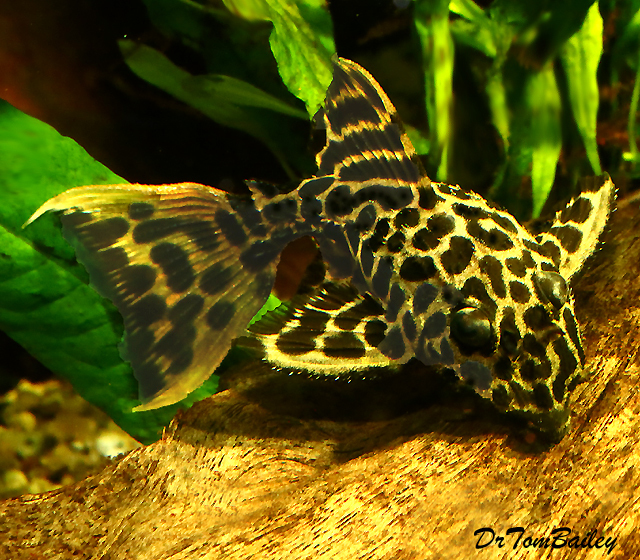 Premium New and Rare, WILD, Leopard Cactus Pleco