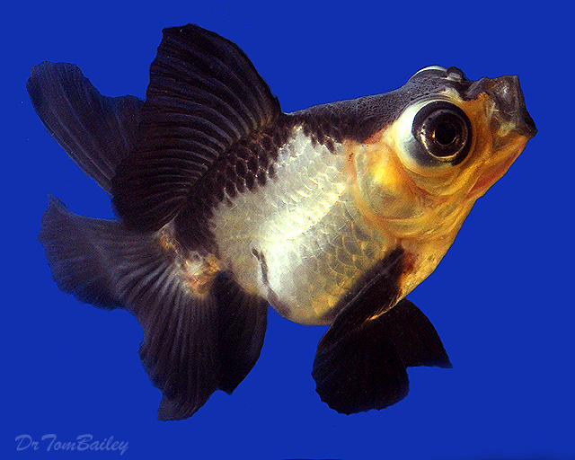 Premium Rare Panda Butterfly-Tail Telescope-Eye Goldfish