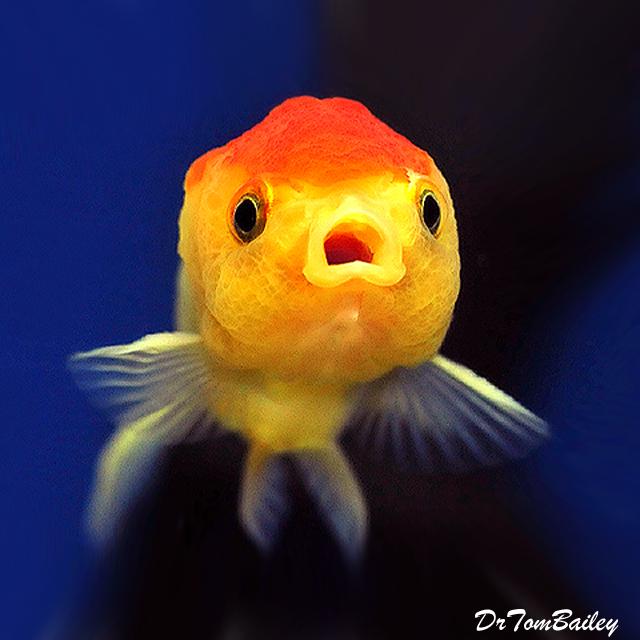 Premium Red & White Lionhead Goldfish