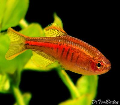 Premium New and Rare, Glowlight Danio, Nano Fish