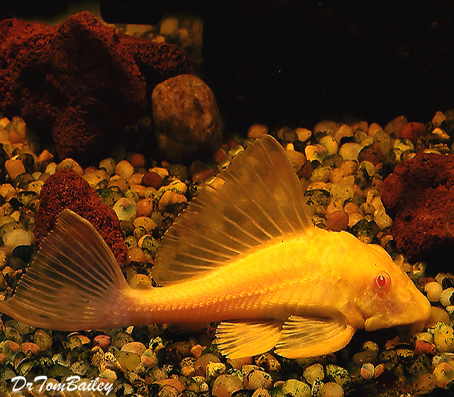 Premium Red-Eye Gold Marbled Sailfin Pleco