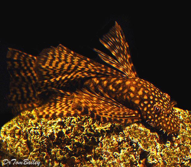 Premium Chocolate Longfin Bushymouth Pleco