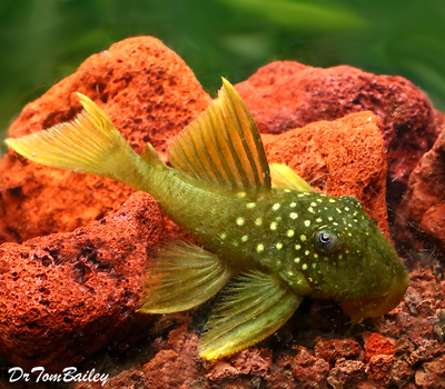 Premium WILD, Rare New, Green Phantom Pleco., Baryancistrus demantoides, L200