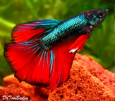 Premium MALE Rare Unique Assorted Halfmoon Betta Fish