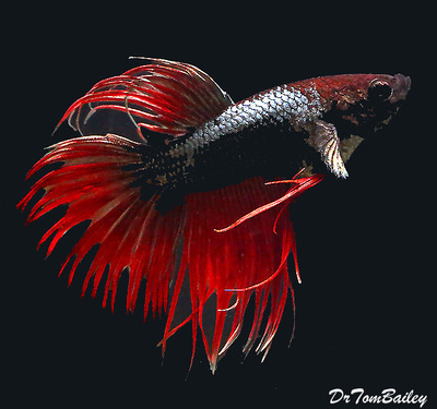 Premium MALE Unique Crowntail Betta Fish