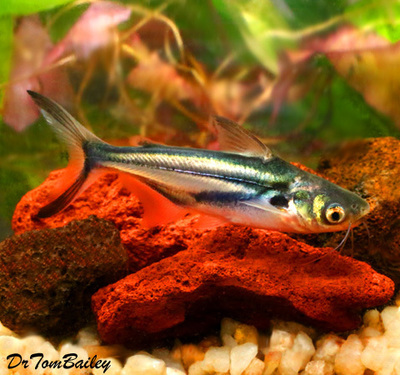Premium New and Rare, Black Ear Pangasius Catfish