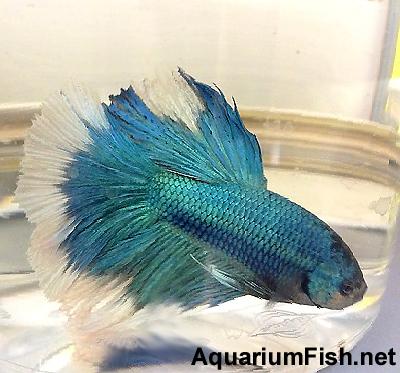 Premium MALE Blue Halfmoon Betta Fish