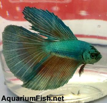 Premium MALE Green Halfmoon Betta Fish