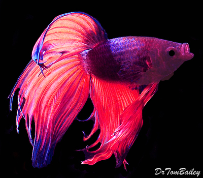 Premium MALE Unique Betta Fish