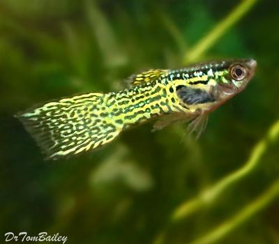 Premium MALE Cobra Endler's Livebearer, Nano Fish