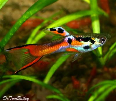 Premium MALE Endler's Livebearer, Nano Fish