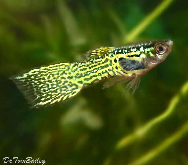 Premium MALE Cobra Endler's Livebearer, Nano Fish