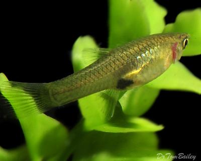 Premium FEMALE Endler's Livebearer, Nano Fish