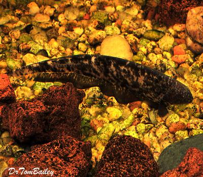 Premium New and Rare, Marble Granite Knifefish