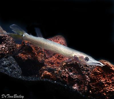Premium Freshwater Silver Hujeta Gar Fish