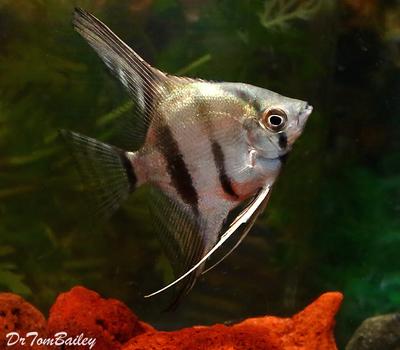 Premium New WILD and Rare, Peruvian Altum Angelfish