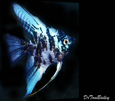 Premium Rare Marbled Blue Angelfish