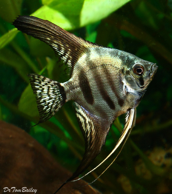Premium Zebra Angelfish